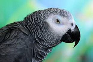 papagalos-3